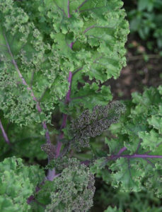 Kale photo via Flickr user djprybyl