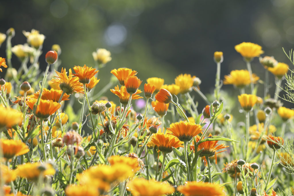 meadow with pot marigold - calendula officinalis