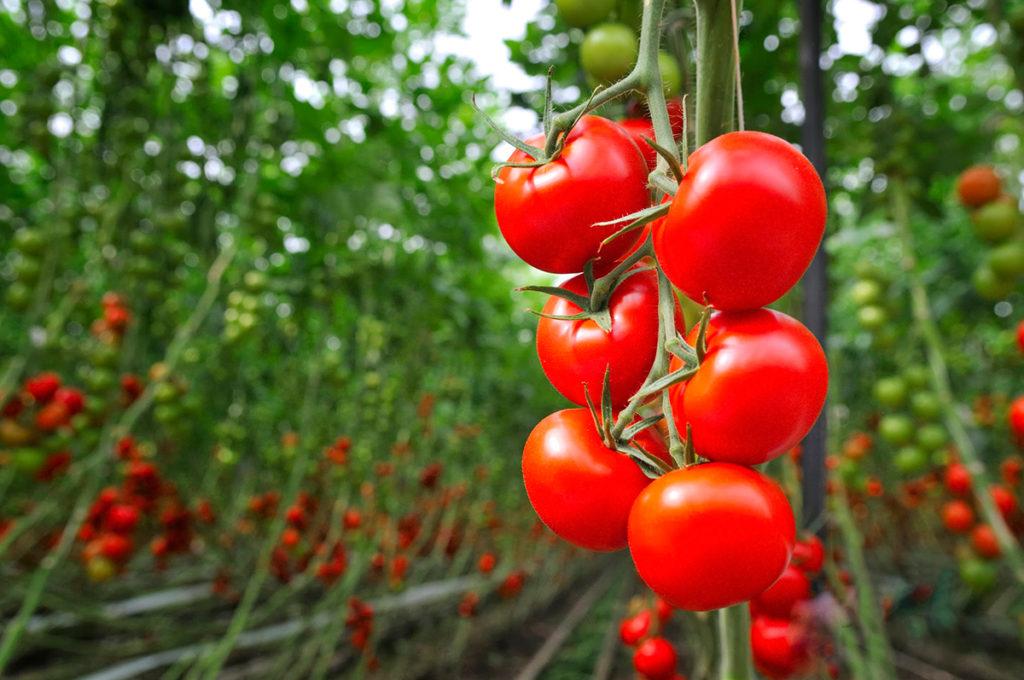 tomato_superfood
